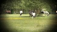 Pasące się konie