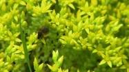 Pszczoła na rozchodniku ostrym