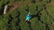 Kobieta na plantacji herbaty