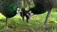 Dwa dziobiące pawie