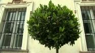 Drzewko laurowe przed pałacem w Nieborowie