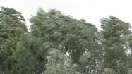 Drzewa podczas silnego wiatru