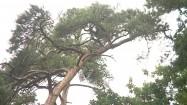 Konary drzew kołyszące się na wietrze