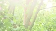 Liście klonu w słonecznych refleksach