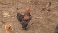 Kogut i kury w gospodarstwie agroturystycznym