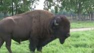 Samiec bizona
