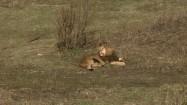 Lew na trawie