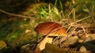 Borowik w lesie