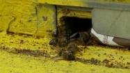 Martwe pszczoły