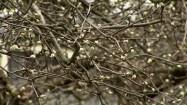 Pąki na drzewie