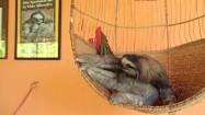 Leniwiec na wiklinowej huśtawce
