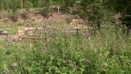 Żubry za ogrodzeniem