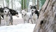 Psy husky