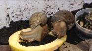 Hodowla ślimaków winniczków