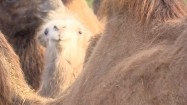 Stado wielbłądów