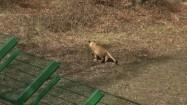 Biegnący lew
