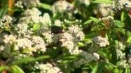 Owady na kwiatku irgi wierzbolistnej