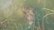 Krokodyl w wodzie