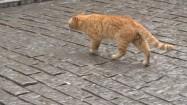 Rudy kot wędrujący po ulicy Stambułu