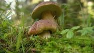 Borowiki w lesie