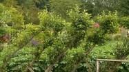 Jabłonie w ogrodzie