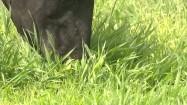 Krowa skubiąca trawę na pastwisku