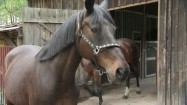 Koń wychodzący ze stadniny