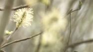 Młode pąki na gałęziach
