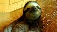 Leniwiec na plecionej huśtawce