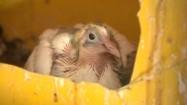 Pisklę gołębia w gnieździe