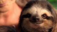 Leniwiec noszony na rękach