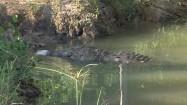 Krokodyl jedzący kurczaka