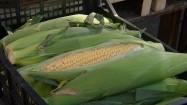 Kolby kukurydzy w plastikowej skrzyni
