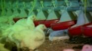 Kurczaki przy karmidłach