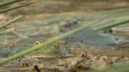 Kumak nizinny i żaba zielona