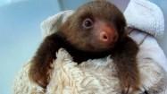 Młody leniwiec