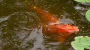 Ryby w stawie
