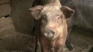 Jedząca świnia