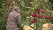 Zbieranie jabłek w sadzie
