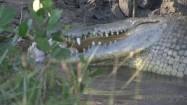 Krokodyl połykający kurczaka