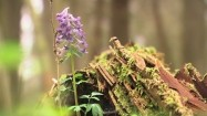 Kokorycz w lesie