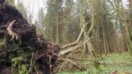Powalone drzewo w Puszczy Białowieskiej