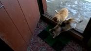 Koty wchodzące do domu