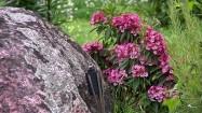 Głaz i rododendron