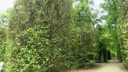 Strzyżone szpalery w nieborowskim parku