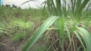 Zielone źdźbła traw