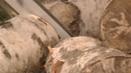 Cięcie brzozy piłą mechaniczną