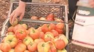 Kobieta układająca pomidory w skrzynkach