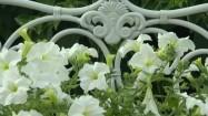 Białe petunie ogrodowe