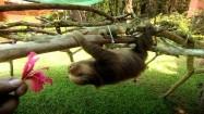 Wspinający się leniwiec